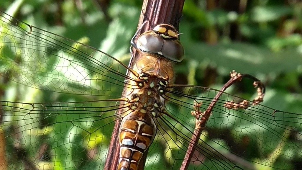migrant hawker close.jpg